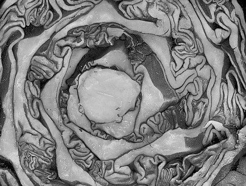 Cabbage (macro). Picture by 'psyberartist' (https://www.flickr.com/photos/psyberartist/) via Flickr. [I changed it to greyscale]